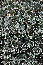 Lidakense Stonecrop (Sedum cauticola 'Lidakense') at Ritchie Feed & Seed Inc.