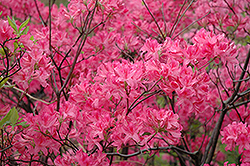 Northern Lights Azalea (Rhododendron 'Northern Lights') at Ritchie Feed & Seed Inc.