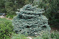 Montgomery Blue Spruce (Picea pungens 'Montgomery') at Ritchie Feed & Seed Inc.