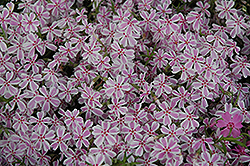Candy Stripe Moss Phlox (Phlox subulata 'Candy Stripe') at Ritchie Feed & Seed Inc.
