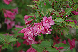 Minuet Weigela (Weigela florida 'Minuet') at Ritchie Feed & Seed Inc.