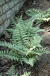 Ghost Fern (Athyrium 'Ghost') at Ritchie Feed & Seed Inc.