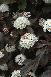 Diablo Ninebark (Physocarpus opulifolius 'Diablo') at Ritchie Feed & Seed Inc.