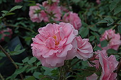 John Davis Rose (Rosa 'John Davis') at Ritchie Feed & Seed Inc.