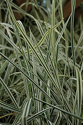 Variegated Oat Grass (Arrhenatherum elatum 'Variegatum') at Ritchie Feed & Seed Inc.