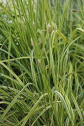Variegated Foxtail Grass (Alopecurus pratensis 'Aureovariegatus') at Ritchie Feed & Seed Inc.