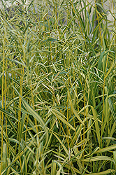 Skinner's Gold Brome Grass (Bromis inermis 'Skinner's Gold') at Ritchie Feed & Seed Inc.