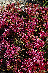 Dragon's Blood Stonecrop (Sedum spurium) at Ritchie Feed & Seed Inc.