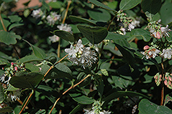Snowberry (Symphoricarpos albus) at Ritchie Feed & Seed Inc.