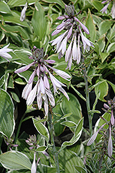 Francee Hosta (Hosta 'Francee') at Ritchie Feed & Seed Inc.