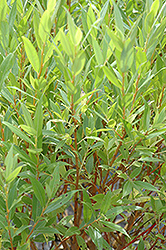 Flame Willow (Salix 'Flame') at Ritchie Feed & Seed Inc.