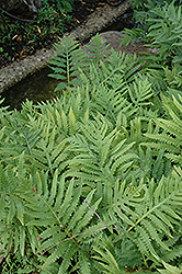 Sensitive Fern (Onoclea sensibilis) at Ritchie Feed & Seed Inc.