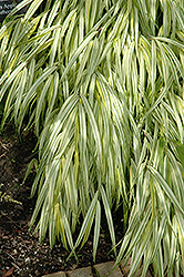 Golden Variegated Hakone Grass (Hakonechloa macra 'Aureola') at Ritchie Feed & Seed Inc.