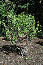Rainbow Pillar Serviceberry (Amelanchier canadensis 'Glennform') at Ritchie Feed & Seed Inc.