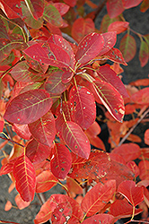 Autumn Brilliance Serviceberry (Amelanchier x grandiflora 'Autumn Brilliance') at Ritchie Feed & Seed Inc.