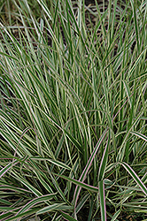 Variegated Reed Grass (Calamagrostis x acutiflora 'Overdam') at Ritchie Feed & Seed Inc.