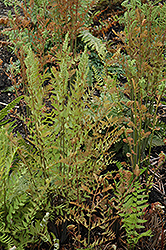 Royal Fern (Osmunda regalis) at Ritchie Feed & Seed Inc.