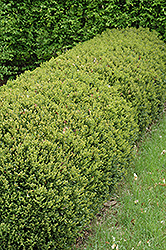 Green Gem Boxwood (Buxus 'Green Gem') at Ritchie Feed & Seed Inc.