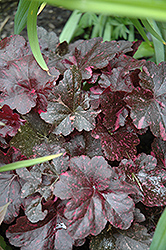 Midnight Rose Coral Bells (Heuchera 'Midnight Rose') at Ritchie Feed & Seed Inc.