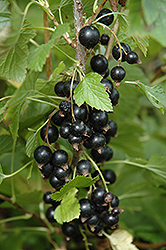 Ben Nevis Black Currant (Ribes nigrum 'Ben Nevis') at Ritchie Feed & Seed Inc.