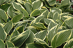 Golden Variegated Hosta (Hosta fortunei 'Aureomarginata') at Ritchie Feed & Seed Inc.
