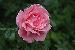 Queen Elizabeth Rose (Rosa 'Queen Elizabeth') at Ritchie Feed & Seed Inc.
