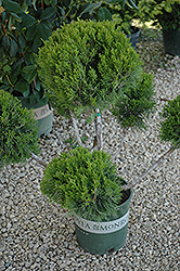 Mint Julep Juniper (pom pom) (Juniperus chinensis 'Mint Julep (pom pom)') at Ritchie Feed & Seed Inc.