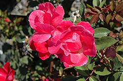 Pink Knock Out® Rose (Rosa 'Radcon') at Ritchie Feed & Seed Inc.