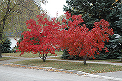 Flame Amur Maple (Acer ginnala 'Flame') at Ritchie Feed & Seed Inc.