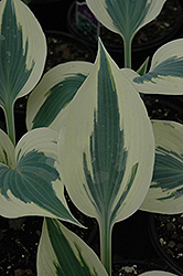 Blue Ivory Hosta (Hosta 'Blue Ivory') at Ritchie Feed & Seed Inc.