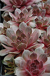 Sanford's Hybrid Hens And Chicks (Sempervivum 'Sanford's Hybrid') at Ritchie Feed & Seed Inc.