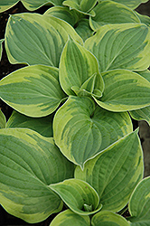 Wide Brim Hosta (Hosta 'Wide Brim') at Ritchie Feed & Seed Inc.