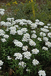 Purity Candytuft (Iberis sempervirens 'Purity') at Ritchie Feed & Seed Inc.