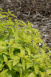 Sunshine Blue Caryopteris (Caryopteris incana 'Jason') at Ritchie Feed & Seed Inc.