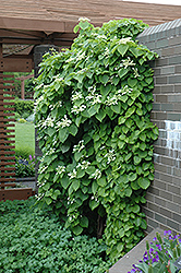 Japanese Hydrangea Vine (Schizophragma hydrangeoides) at Ritchie Feed & Seed Inc.