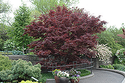 Bloodgood Japanese Maple (Acer palmatum 'Bloodgood') at Ritchie Feed & Seed Inc.