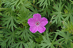 Tiny Monster Cranesbill (Geranium 'Tiny Monster') at Ritchie Feed & Seed Inc.