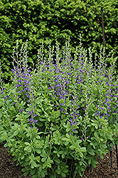 Blue Wild Indigo (Baptisia australis) at Ritchie Feed & Seed Inc.