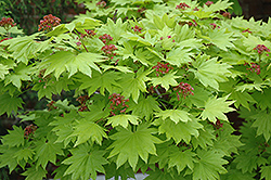Golden Full Moon Maple (Acer shirasawanum 'Aureum') at Ritchie Feed & Seed Inc.