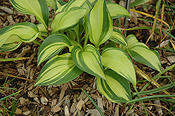 Rainbow's End Hosta (Hosta 'Rainbow's End') at Ritchie Feed & Seed Inc.