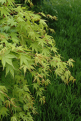 Beni Kawa Coral Bark Japanese Maple (Acer palmatum 'Beni Kawa') at Ritchie Feed & Seed Inc.