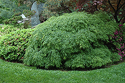 Cutleaf Japanese Maple (Acer palmatum 'Dissectum Viridis') at Ritchie Feed & Seed Inc.