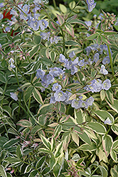 Touch Of Class Jacob's Ladder (Polemonium reptans 'Touch Of Class') at Ritchie Feed & Seed Inc.