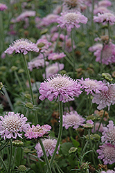Pink Mist Pincushion Flower (Scabiosa 'Pink Mist') at Ritchie Feed & Seed Inc.