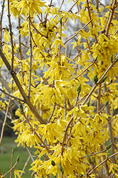 Northern Gold Forsythia (Forsythia 'Northern Gold') at Ritchie Feed & Seed Inc.