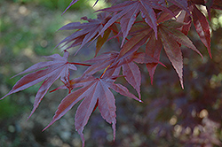 Moonfire Japanese Maple (Acer palmatum 'Moonfire') at Ritchie Feed & Seed Inc.