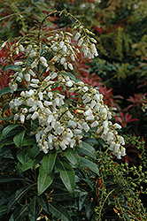 Mountain Fire Japanese Pieris (Pieris japonica 'Mountain Fire') at Ritchie Feed & Seed Inc.