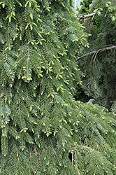 Bruns Weeping Spruce (Picea omorika 'Pendula Bruns') at Ritchie Feed & Seed Inc.
