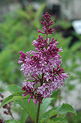 Royalty Lilac (Syringa x prestoniae 'Royalty') at Ritchie Feed & Seed Inc.