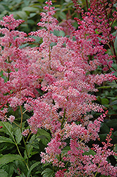 Jump and Jive Astilbe (Astilbe 'Jump And Jive') at Ritchie Feed & Seed Inc.